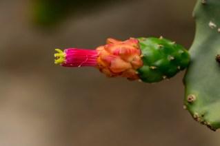 13- No Cactário encontra-se florida a Napolea cochenilliphera- palma doce, palma forragem, cacto de cochonilha