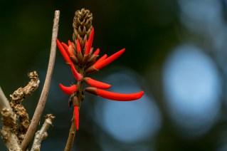 17-Erythrina speciosa