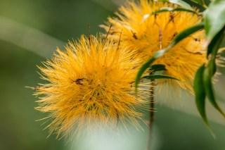 27-Stifftia chrysantha