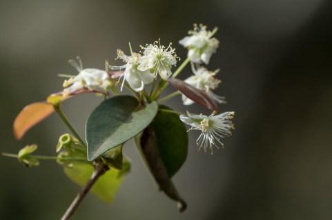 36-Eugenia uniflora -Pitanga