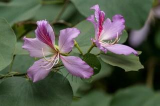 41-Bauhinia variegata