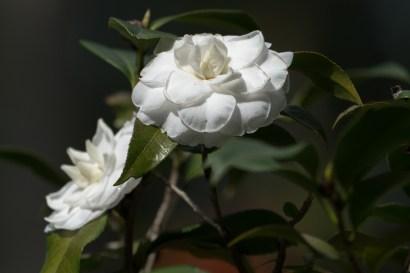 49- Camellia japonica