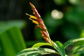 04 - Sanchesia nobilis
