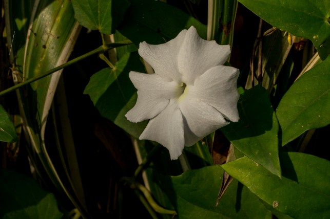 11 - Thumbergia fragans