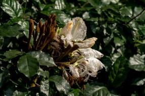 40 - Camoensia scandens