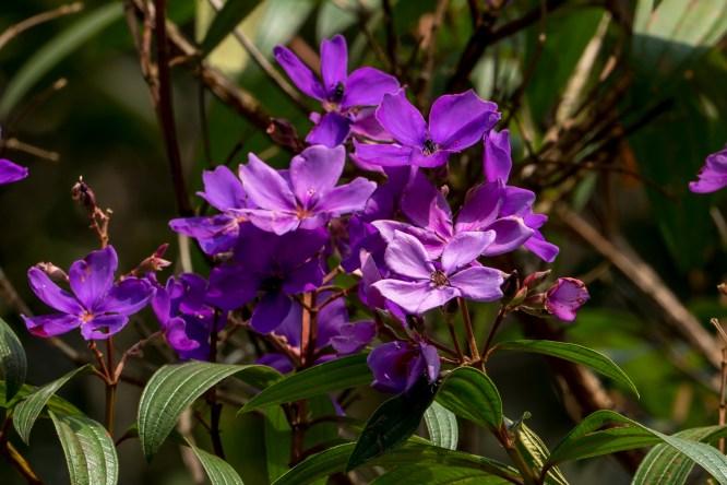 46 - Tibouchina granulosa