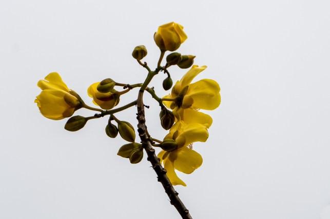 50 - Cochlospermum vitifolium