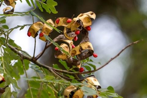 73 - Adenanthera pavonina