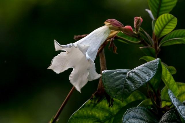 75 - Beaumontia grandiflora