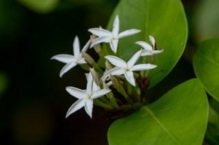 78 - Jasminum sambac