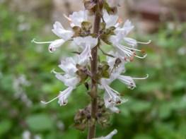 12 - Ocimum basilicum