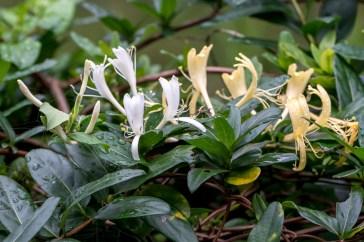 15 - Lonicera japonica