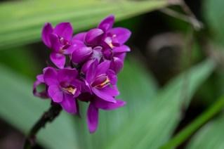 20 - Spathoglottis unguiculata