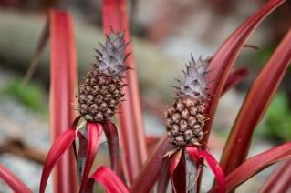 24 - Ananas lucidus