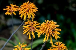 27 - Aloe succotrina