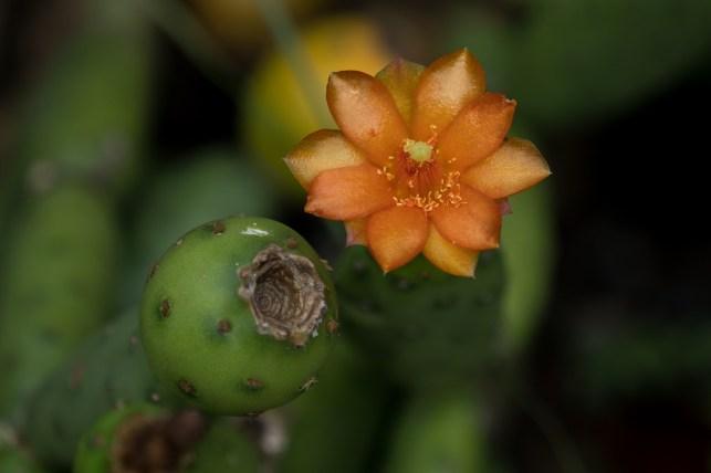 27 - Opuntia laranja