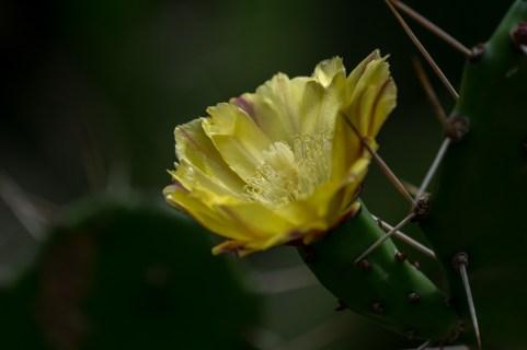 28 - Opuntia amarela