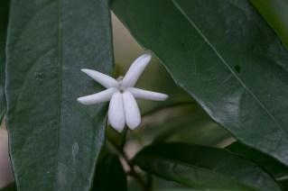 38 - Amphirrhox longiflora