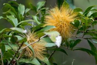 38 - Stifftia chrysantha