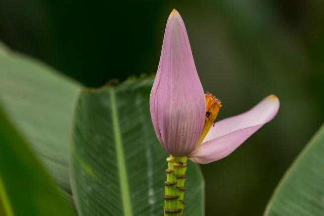 50 - Musa ornata