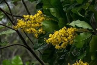 55 - Cespedia spathulata