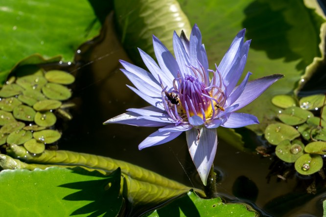 57 - Nymphaea capensis