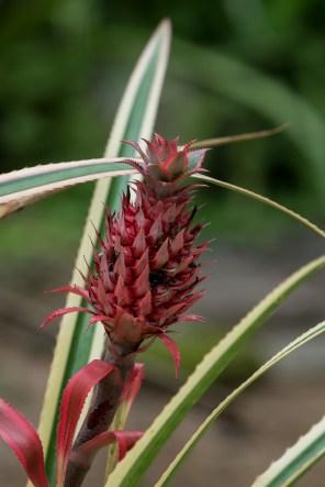 60 - Ananas bracteatus