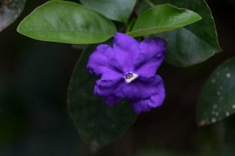 62 - Brunfelsia uniflora