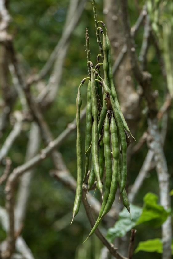 68 - Erythrina speciosa (frutos)