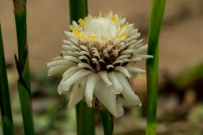 70 - Etlingera White