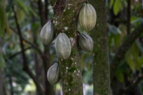 74 - Theobroma cacao