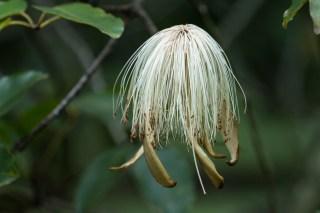 83 - Pseudobombax longiflora