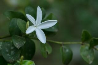 86 - Carissa spinarum