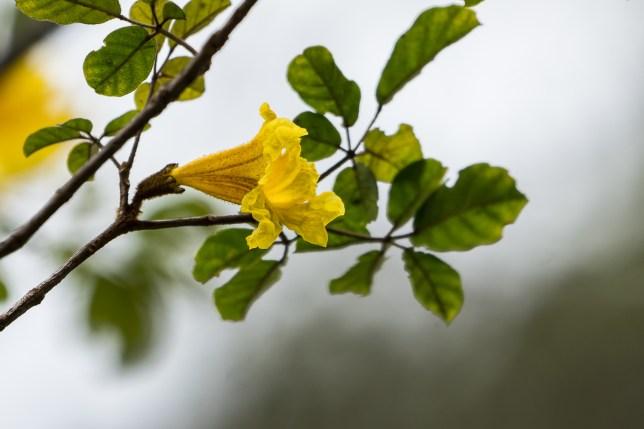 89 - Handroanthus chrysotrichus