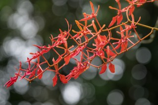 16 - Renanthera coccinea