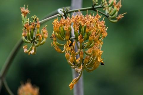 18 - Agave flor de laranja
