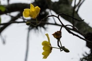41 - Cochlospermum vitifolium