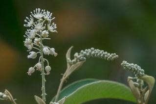46 - Croton compressus