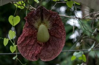 48 - Aristolochia gigantea