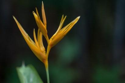 70 - Heliconia latisphata