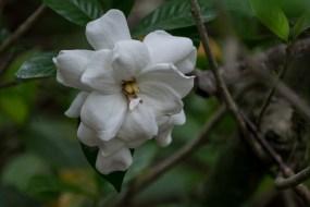 78 - Gardenia jasminoides