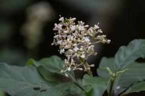 79 - Psychotria carthagenensis