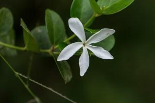 88 - Carissa spinarum