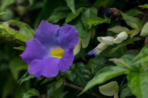 92 - Thumbergia erecta
