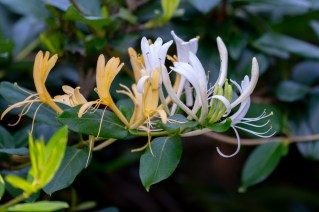 07 - Lonicera japonica