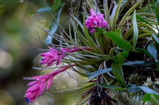 13 - Tillandsia stricta