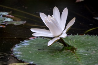 24 - Nymphaea lotus