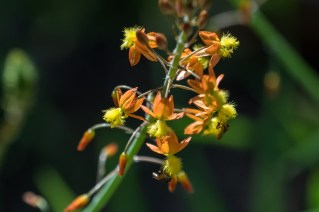 40 - Bulbine frutescens