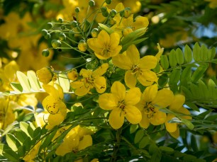 43 - Cassia leptophylla