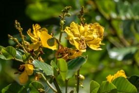 49 - Senna appendiculata